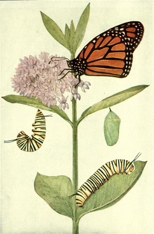 Butterfly Cocoon Drawing Butterflies Part 2 - The True