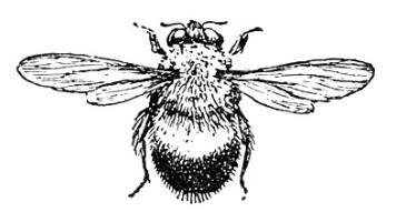Bumblebee Insect Drawing The Bumblebee  Bombus vagans