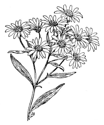 september aster flower drawing  gallery, Beautiful flower