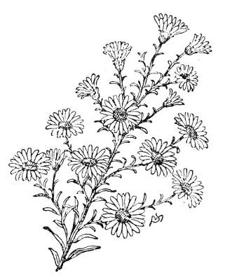 september aster flower drawing, Beautiful flower